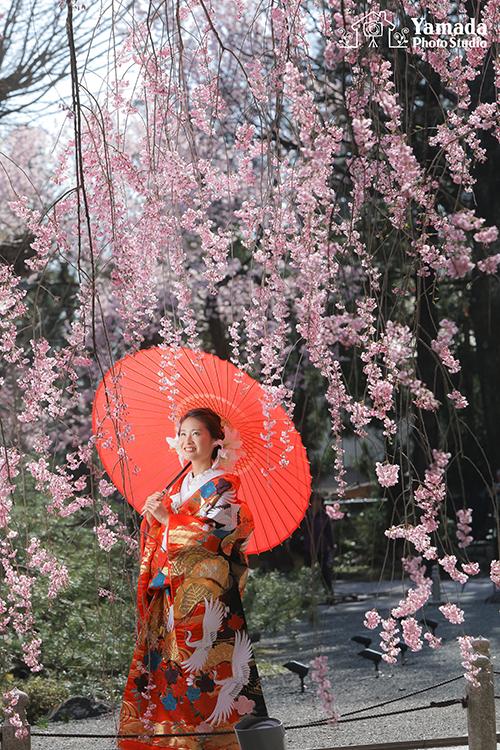 花嫁さん桜赤傘番傘前撮り岡谷市写真館